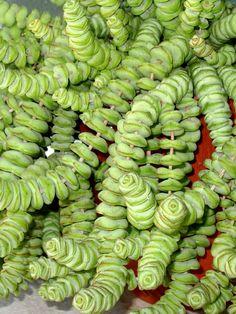 Crassula Tiger Jade | Crassula rupestris subsp. marnieriana - Jade Necklace | World of ...