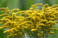 Wildflowers of Kentucky: State flower, Goldenrod
