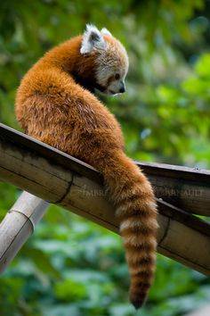 Red Panda IV by *darkcalypso on deviantART