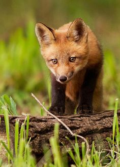Fox cub by Mircea Costina Photography*