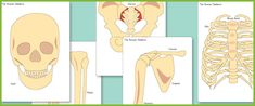 Free Human Skeleton Cut-outs for teaching the major bones