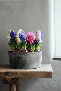 Hyacinth in metal tub Arrangements Ikebana, Floral Arrangements, Indoor Garden, Indoor Plants, Indoor Flowers, Metal Tub, Deco Nature, Spring Bulbs, Deco Floral