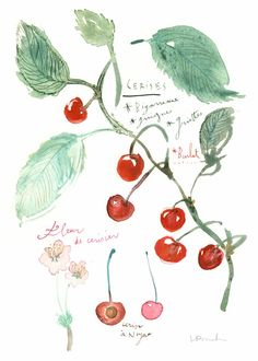 "Cherries - Original watercolor painting - Botanical plate. $68   "" Le temps des cerises"" ! Cherries botanical plate.    Original watercolor painting.    This original, one of a kind is painted on watermaked BFK Rives paper - 280g, and measures 15 X 11 inches (38 X 28 cm).  The image area measures 12.5 X 8.5 inches (32 X 22 cm )    This painting is signed on the bottom with pencil."