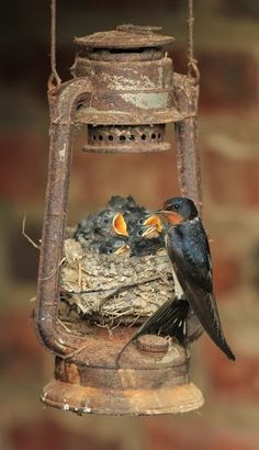 To us a rusty old lantern, to a family of birds, a safe valuable home. Mother bird so clever. A Day In the Life of a Wildlife Artist: Swallows second brood in an unusual nest Nature Animals, Animals And Pets, Baby Animals, Cute Animals, Beautiful Birds, Animals Beautiful, Old Lanterns, Photo Animaliere, Tier Fotos