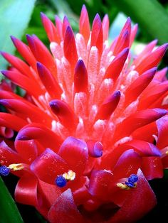 red bromeliad. beautiful