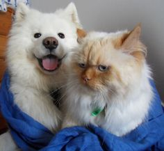 Undeniable Proof That #Samoyeds Are Irresistible #Dogs. They will love to have fun with you.