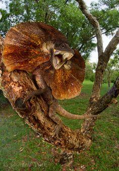 ˚Chlamydosaurus kingii - Frill necked lizard