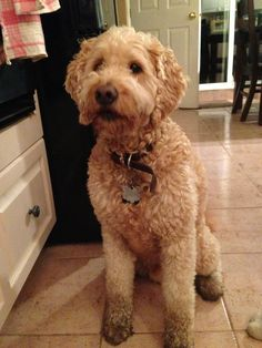 Muddy paws, cute face. My #goldendoodle after a nights adventure! :) #dog #hypoallergenic