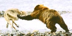 Bear and wolf fighting!