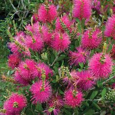 Callistemon viminalis Hot Pink - Weeping Bottlebrush, Plant in Pot Pot Bottlebrush Plant, Native Plants, Garden Plants, Shrub Roses, Australian Native Plants, Native Garden, Plants, Evergreen Flowers, Australian Native Flowers