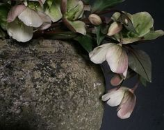 Shy hellebores and one of my favourite stone vessels