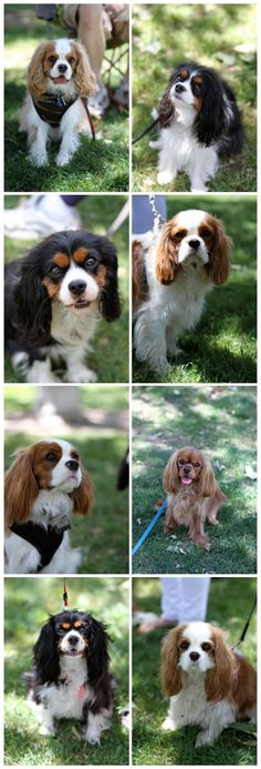 portraits of a cavalier......best dogs ever!!