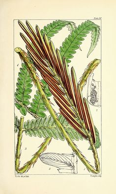 Vintage Fern Prints Plate 5 Wall Art beautiful giclee reproduction print on fine paper. Available in different sizes, unframed or framed in gold or silver leaf wood frame, or wood burl. Custom sizes available. Made in USA by Museum Outlets