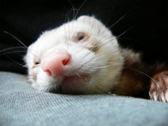 relaxed ferret