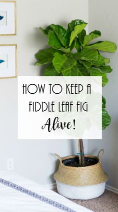 How to Keep fiddle leaf fig alive, Fiddle Leaf Fig Care. Fiddle leaf fig watering instructions,