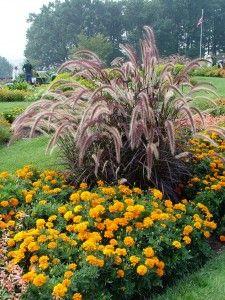 Dwarf red fountain grass