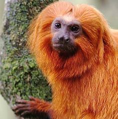 Golden Lion Tamarin or the lion monkey is an active bright colored, little fire ball from Brazil where it is endangered. Golden Lion Tamarin, Golden Lions, Primates, Mammals, New World Monkey, Ape Monkey, How To Buy Land, All Gods Creatures, Orangutan