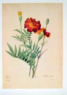 Marigold  Redoute Botanical Print  1979 by mysunshinevintage