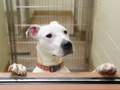 """The Lazy Pit Bull: Pit Bull Myths: """"It's How They're Raised."""""""