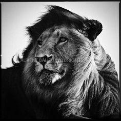Laurent Baheux : black & wild photographer