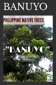 """BANUYO (Wallaceodendron celebicum) This salt-tolerant native tree is great for erosion control.  It's also called the """"honey tree"""". Banuyo is classified as Endangered (DAO 2007-1).  """"Protect our trees, our forests- our source of life!"""" #PhilippineNativeTrees #NativeTrees #Rainforestation #KeepingitNative  #ForestProtection  PLANT AND NURTURE A NATIVE TREE TODAY!  (c) Native Trees 101: Up Close And Personal  June 14, 2016 All About Plants, Forest Plants, Erosion Control, Flowering Trees, Forests, Landscape Architecture, Bonsai, Philippines, Nativity"""