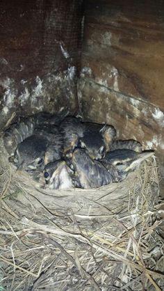 Bit of a tight fit now! #bird #babybirds #robins #babyrobins #birdsnest #cute #fluffy