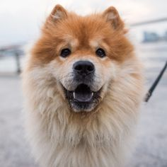 "Leo, Chow Chow (3 y/o), Pier 45, New York, NY • ""There are these two lion…"