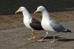 Amsterdamse GPS geeft beeld van vogeltrek - Vogelplein BE-NL