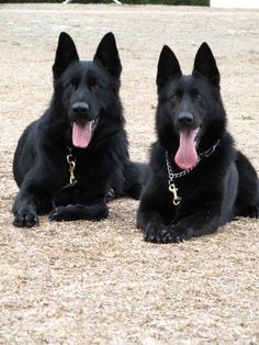 Sable German Shepherds. #sable #GSD #dogs