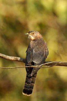 Common Hawk-Cuckoo (Hierococcyx varius)The brainfever bird.Uttarakhand, India.