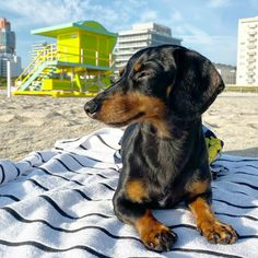 Crusoe The Celebrity Dachshund, Dresser, Education Canine, Sons, Animals, Guard Dog, Dog Owners, Dog Baby, Tips