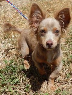 """Meet Radu, a Petfinder adoptable Chihuahua Dog 
