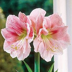 Single Amaryllis Blushing Bride<sup>® </sup>