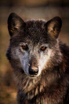 """beautiful-wildlife: """"Wolf by Kristin Castenschiold """""""