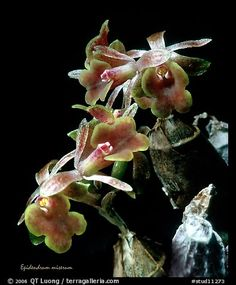 Epidendrum miserum. A species orchid