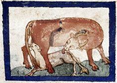 A cow feeds her calf. Bodleian Library, MS. Douce 151, Folio 25v