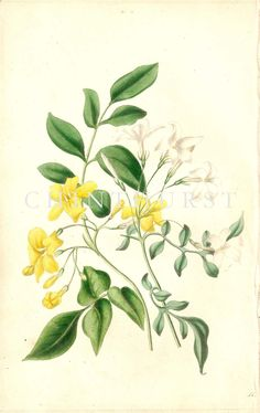 WHITE JASMINE AND LARGE YELLOW JASMINE. Louisa Anne Twamley. Chromolithograph from 'The Romance of Nature'. 1836