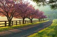 Apple blossoms in Virginia, by Jim Emery