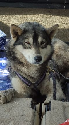 This lovely Husky was found yesterday morning on Primrose Hill, Chartham Hatch, Canterbury, Kent. Not chipped or tagged – now at Tree Tops resuce in Whitstable.