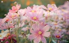 cosmos flowers images - Google Search Cosmos Flowers, Fall Flowers, Comment Planter, Sun Loving Plants, Flying Flowers, Small White Flowers, Annual Flowers, Fall Plants, Outdoor Planters