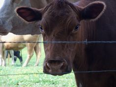 because we all deep down in our hearts we believe this brown cow delivered our chocolate milk, rigth?