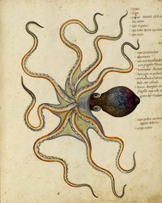 by Ulisse Aldrovandi, 16th century Bolognese naturalist