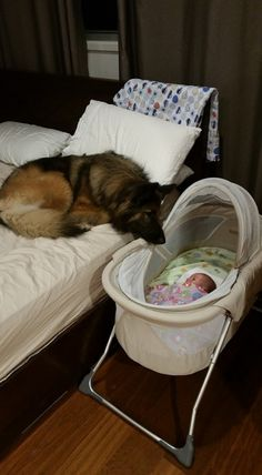 """watching dog ;-)) #baby (dogs really are part of the family, the """"pack"""" and almost all of them have an instinct for gentleness and protection...What better guardian?! :)"""