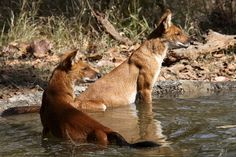 Dhole (Wild Dog) Pair    A pair of Indian wild dogs in a watering hole in Kanha National Park, Madhya Pradesh. By MykReeve, Flickr.