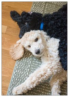 3-month old standard poodle puppies. Poodles are lovable in any size dont you agree?