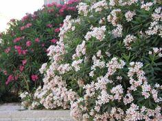 seto de adelfas Nerium oleander