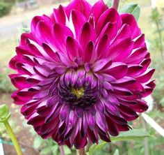 Osirium - A beautiful purple dahlia with a splash of white.  This dahllia has great form, and is long lasting. ...