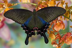 Female Papilio Bianor Swallowtail Butterfly