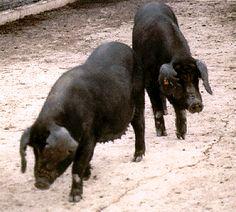 Pig - WikiVisually