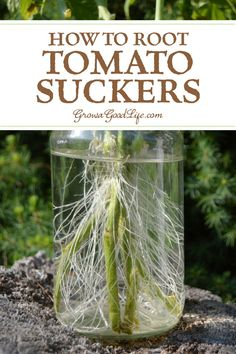 How to Root Tomato Suckers: Rooting tomato suckers can provide great mid-season replacement plants. Visit to see how to clone tomato plants from cuttings.